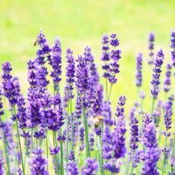 Aromatherapie für Schwangere und Säuglinge
